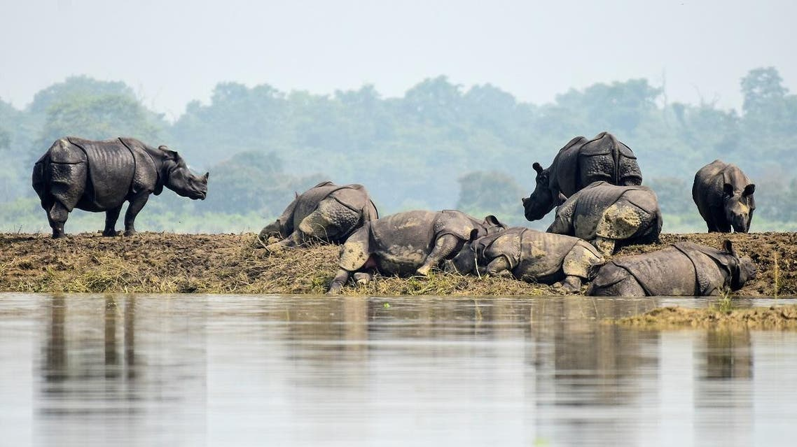 One-horned rhinos rest on a highland in the flood affected area of Kaziranga National Park in Nagaon district, in the northeastern state of Assam. (Reuters)