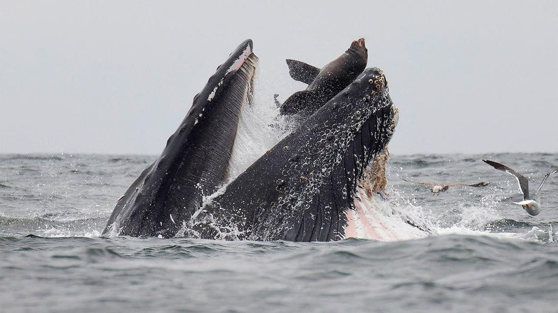 his handout picture released on July 30, 2019, shows a sea lion accidentally caught in the mouth of a humpback whale. (AFP)
