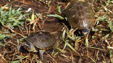 عند السلاحف.. الجنين يحدد جنسه بنفسه!