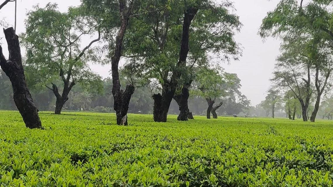 This undated handout photo provided by Assam Company India Ltd on July 31, 2019, shows a part of the comapany's tea farm in Dibrugarh, Assam. (AFP)