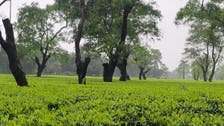 Golden brew: Rare Assam tea bags world record at auction