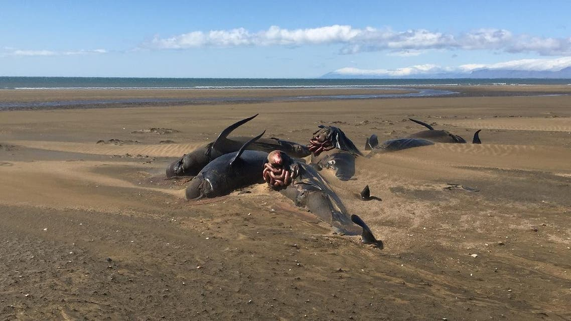 A handout picture released by Reykjavik Helicopters and taken on July 18, 2019 shows stranded whales on the Longufjorur beach in the Snaefellsnes peninsula area in north-western Iceland. (File photo: AFP)