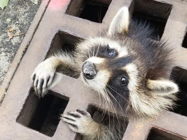 علق في فتحة مجارٍ لساعات.. فأنقذوه وأعطوه مهدئاً