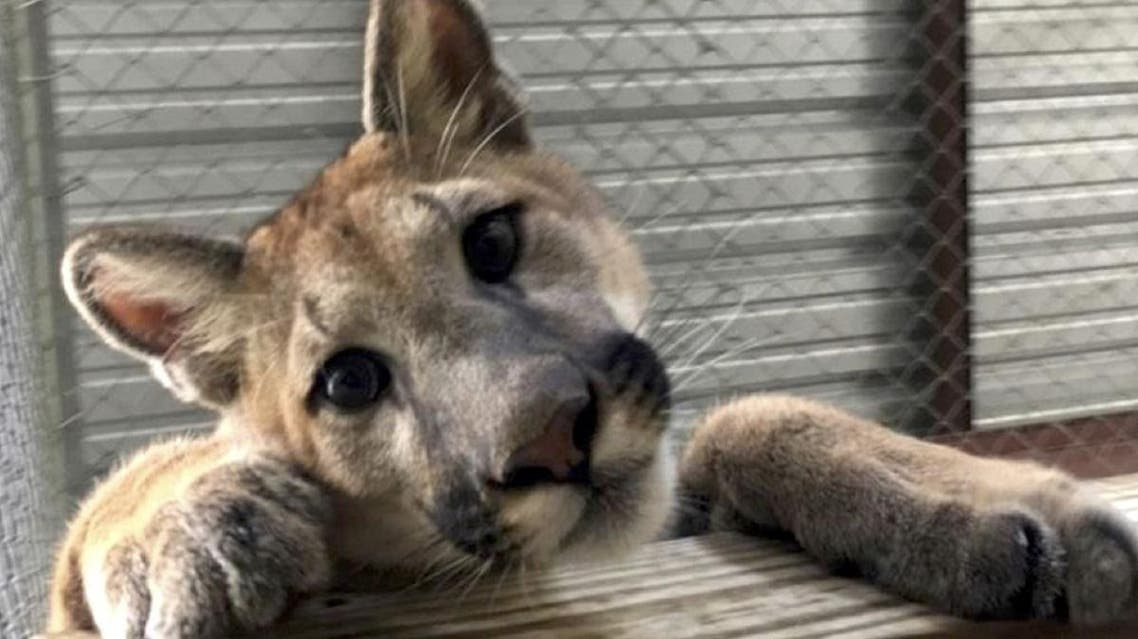 Saved pet cougar in Parkland, Florida. (Twitter)