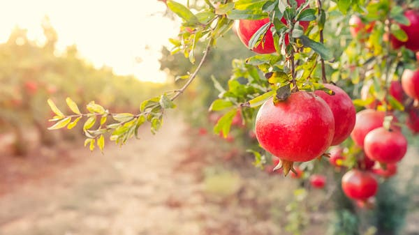 فاكهة لذيذة.. تحارب الشيخوخة وترفع المناعة وتقي من السرطان