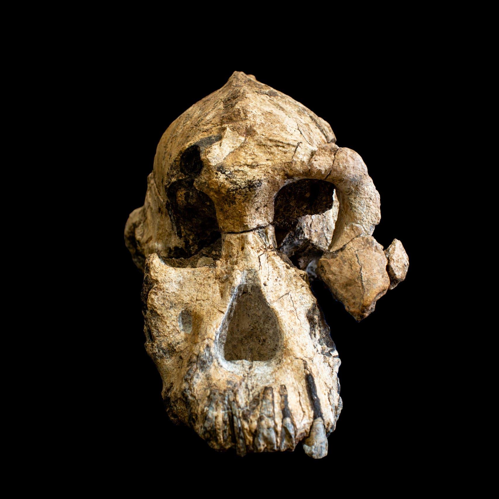 اكتشاف صادم.. جمجمة توضح مخ وأكل ووجه البشر الأوائل