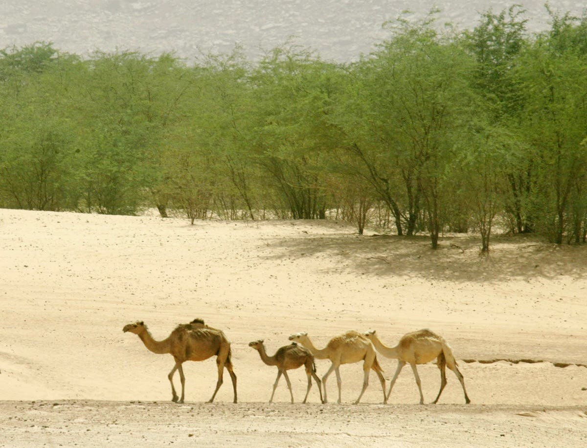 Camels near an oasis in Mauritania. (AFP)