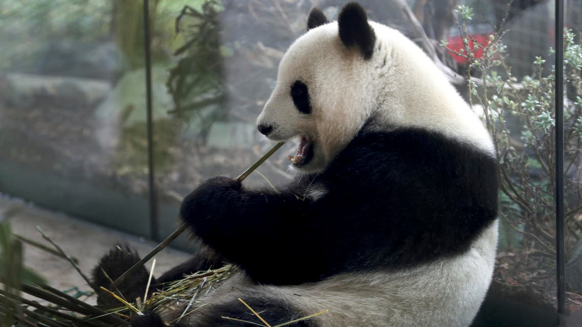 In this Friday, April 5, 2019 file photo taken trough a window female panda Meng Meng eats bamboo at its enclosure at the zoo in Berlin, Germany. (AP)