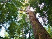 """""""أطول شجرة"""" في الأمازون غير مهددة بالحرائق"""