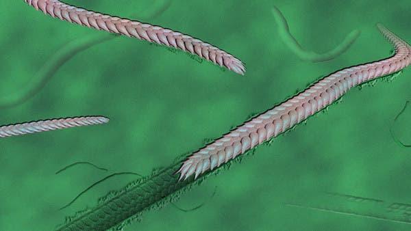 """""""دودة مقطّعة"""".. حيوان غريب """"تنقّل"""" قبل 550 مليون سنة"""