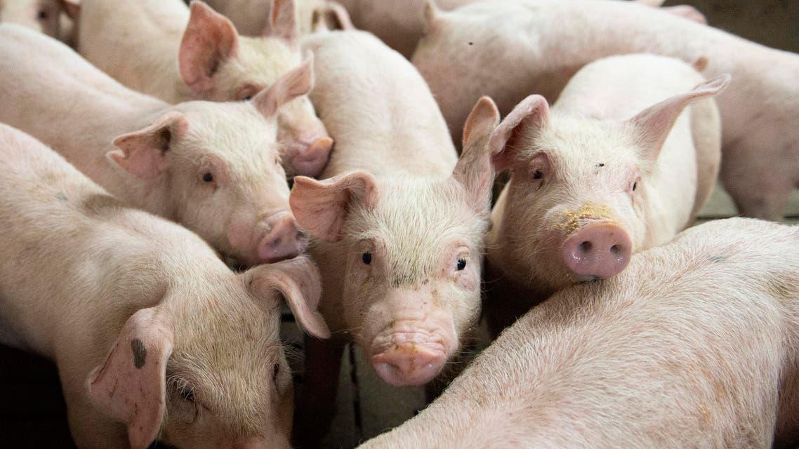 Pigs - AFP