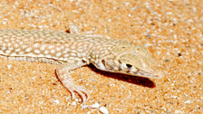 New study finds species of lizards adapt to climate change