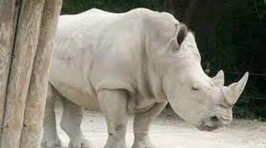 من ذكور ميتة.. تخليق أجنة من وحيد القرن شبه المنقرض