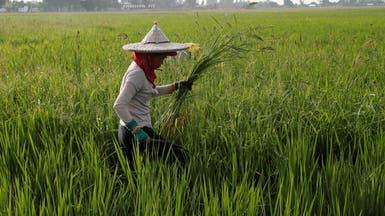 مزارعة تجمع نباتات ضارة تنمو مع الأرز بحقل أرز في الفلبين