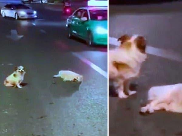 شاهد الكلب ينتظر 3 ساعات ليساعد أحدهم كلباً دهسته سيارة