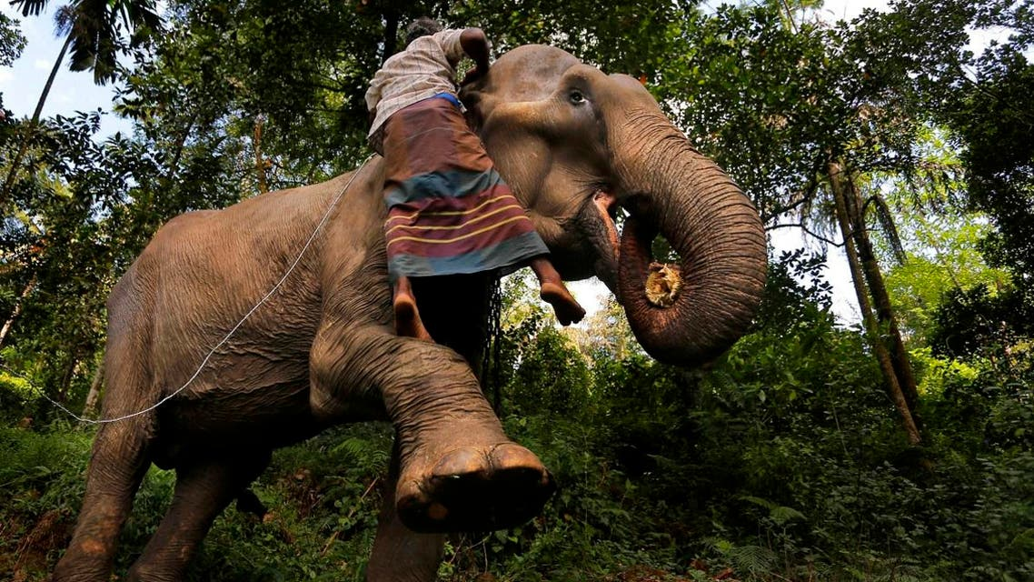 A Sri Lankan mahout attempt to measure the height of his tamed elephant in the backyard of his home in Baduraliya, a village outside Colombo, Sri Lanka. (AP)