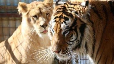 ماذا تفعل أسود ونمور عدي صدام حسين في أربيل؟