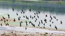 ثلثا طيور أميركا تواجه خطر الانقراض