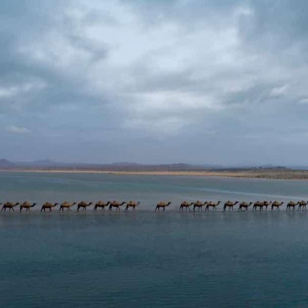 صورة بديعة.. قافلة جِمال تسير في البحر جنوب السعودية