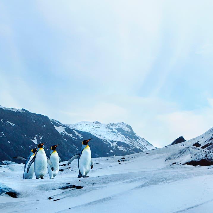 هل يتسبب التغير المناخي بانقراض البطريق؟