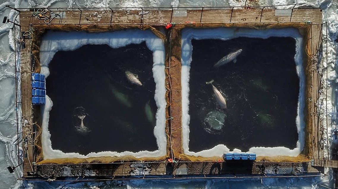 This file aerial photo taken on January 22, 2019 shows captured marine mammals seen in enclosures at a holding facility in Srednyaya Bay in the Far Eastern town of Nakhodka. (AFP)