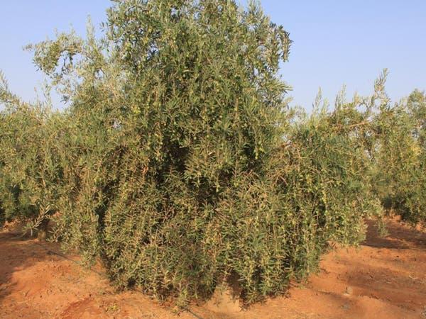 مليونا شجرة.. منطقة سعودية اشتهرت بزراعة الزيتون
