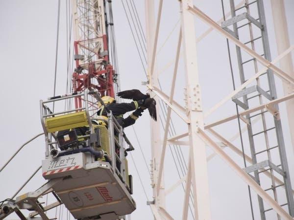 بالصور.. إنقاذ صقر علق في برج للاتصالات بالرياض