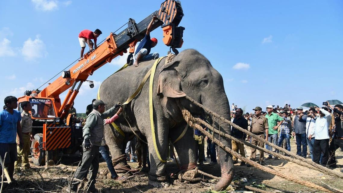 An elephant named after the late Al-Qaeda leader Osama bin Laden that killed five Indian villagers has been caught after a massive operation to hunt down the creature, officials said on November 11. (AFP)