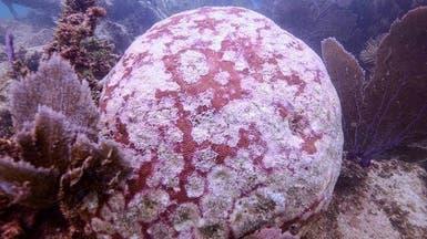 شبح الموت يتهدد الشعاب المرجانية في الكاريبي