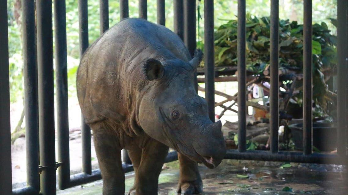 This picture taken on July 21, 2019 shows a Sumatran rhino at the Sumatran Rhino Sanctuary, Way Kambas National Park in Way Kambas. (File photo: AFP)
