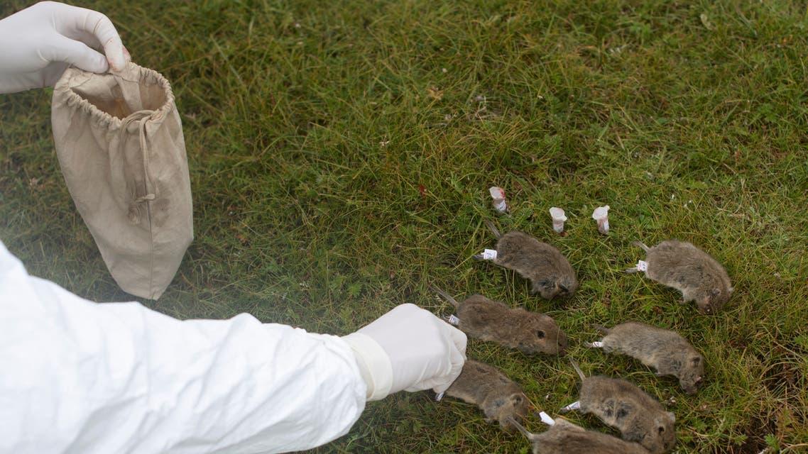 قام أحد أعضاء فريق الوقاية من الطاعون التابع لمركز محلي للوقاية من الأمراض والوقاية منها بتسمية القوارض في إحدى الأراضي العشبية في مقاطعة سيركسو بمقاطعة غرز التبتية ذاتية الحكم بمقاطعة سيتشوان بالصين 28 أغسطس 2019.