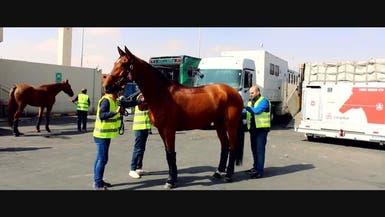 رحلة نقل الخيول إلى السعودية قبل مهرجان الدرعية للفروسية