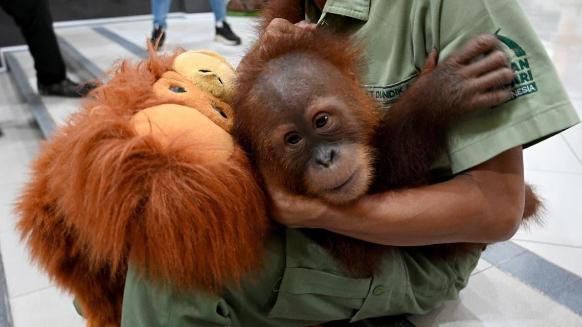 A keeper holds orangutan Bon Bon at the Ngurah Rai International Airport near Denpasar on the Indonesian resort island of Bali on December 16, 2019. (AFP)
