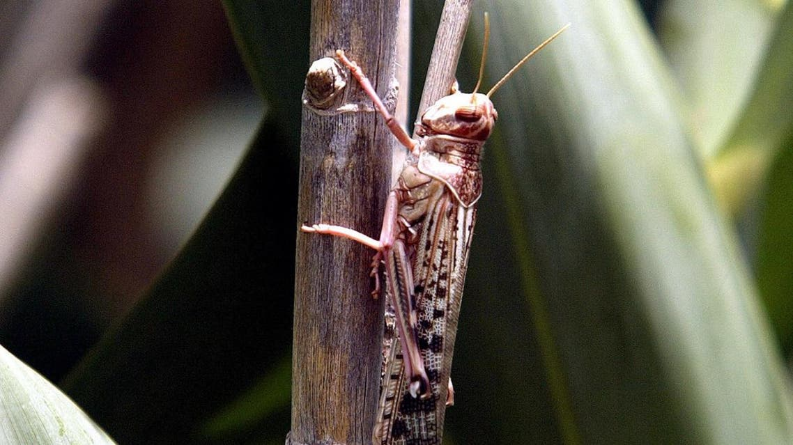 A desert locust feeds on crops in Laghouat. (Photo: Reuters)