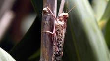 Locust invasion destroys crops in northwest India