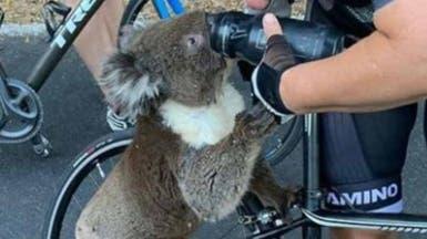 حرائق أستراليا تهدد آلافاً من الكوالا.. فيديوهات تشرح