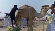 Video of man failing to jump a camel goes viral