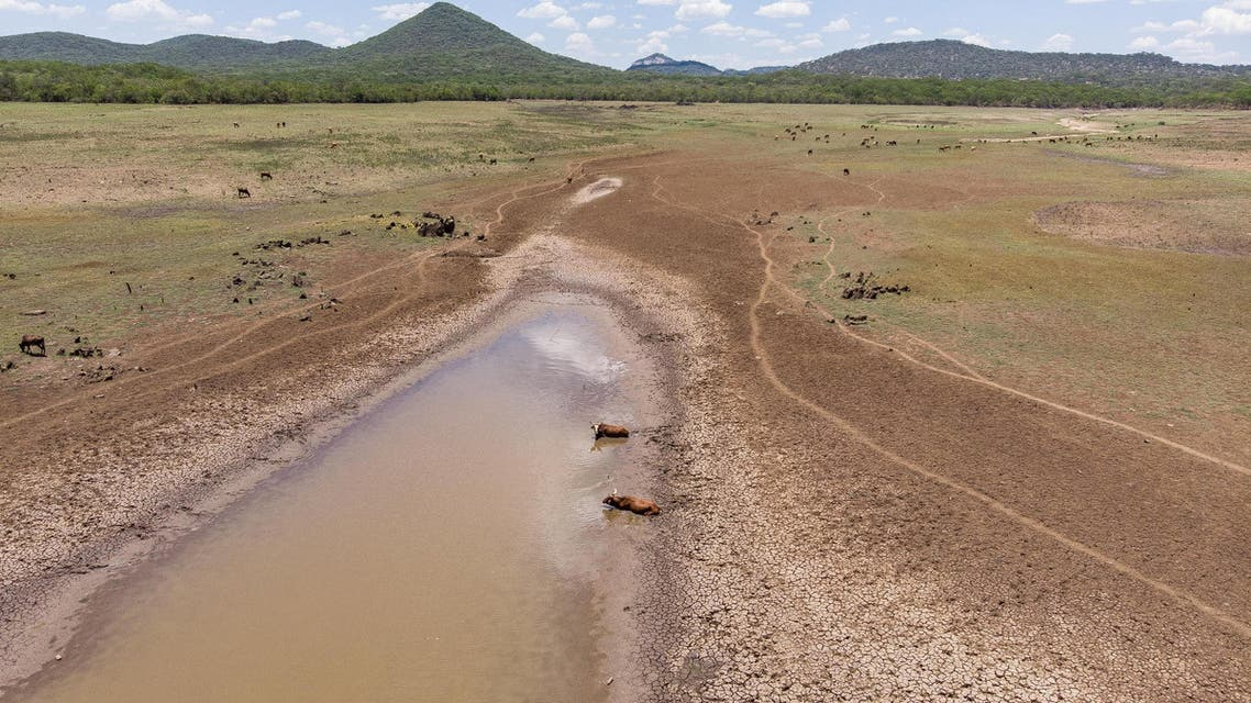 Cows stuck in mud waters in the drying Mabwematema dam on December 25, 2019 in Zimababwe. (File photo: AFP)