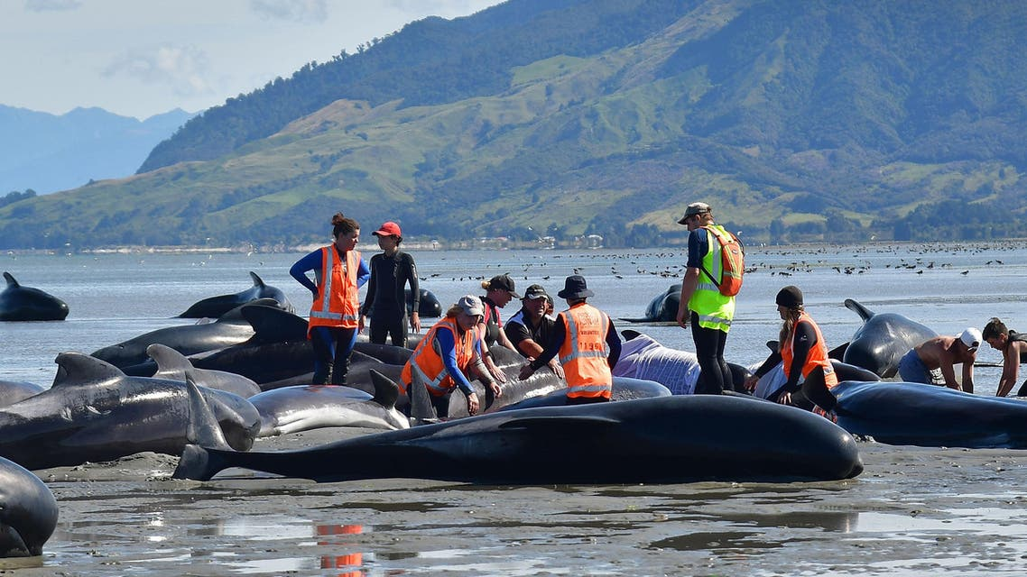 Volunteers pour water on pilot whales during a mass stranding at Farewell Spit on February 11, 2017.  (AFP)