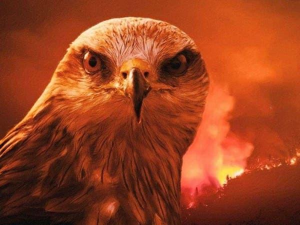 طائر شرير حذر منه الرسول هو أكبر مسبب لحرائق أستراليا