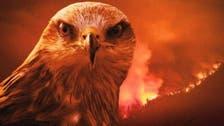 آسٹریلیا میں لگی آگ کا سب سے بڑا سبب ایک شرپسند پرندہ !