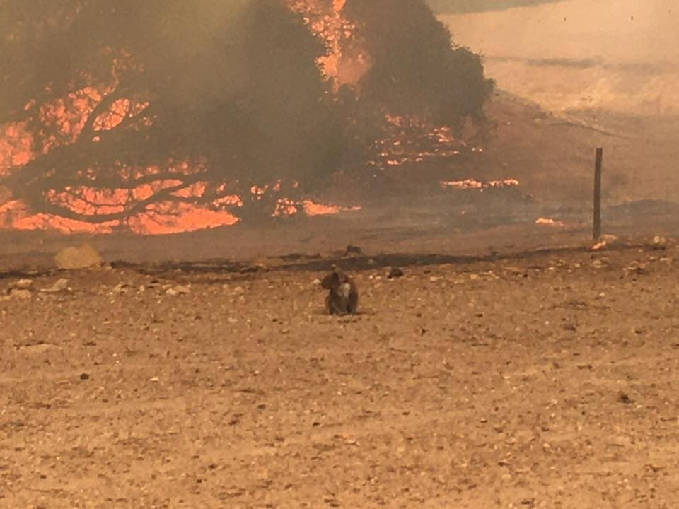 A koala stands in a field with bushfire burning in the background, in Kangaroo Island, Australia, January 9, 2020. (Reuters)