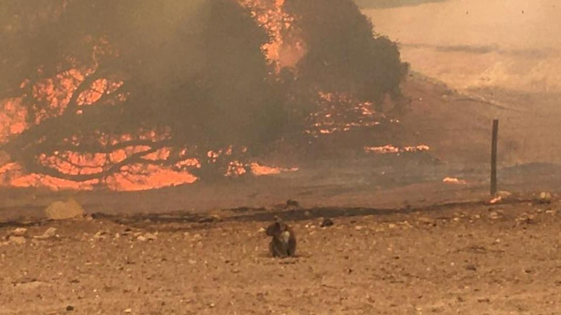A koala stands in the field with bushfire burning in the background, in Kangaroo Island, Australia January 9 in this still image obtained from social media. Paul Stanton/Paul's Place Wildlife Sanctuary/via Reuters)