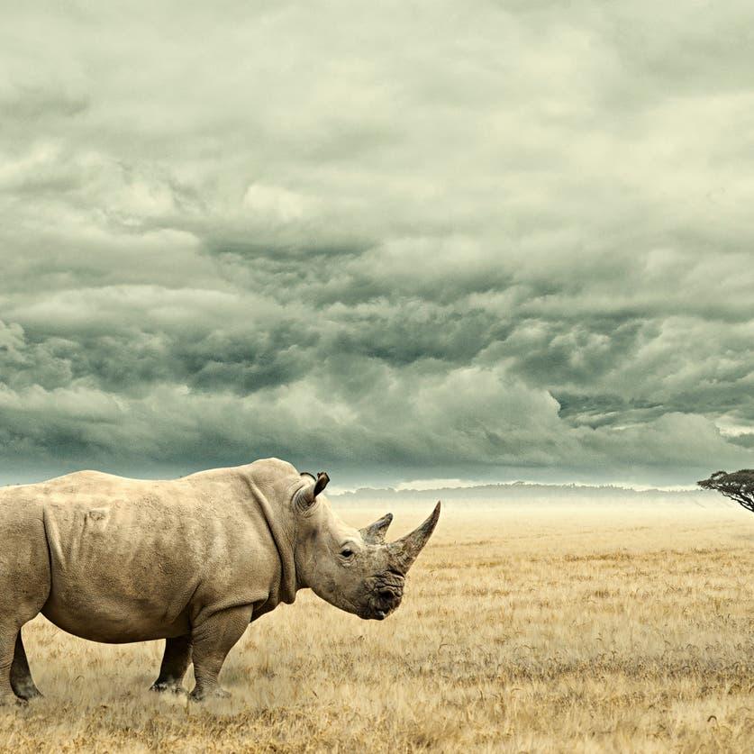 بعد نفوق الذكور.. جنين وحيد قرن شبه منقرض من أم بديلة!