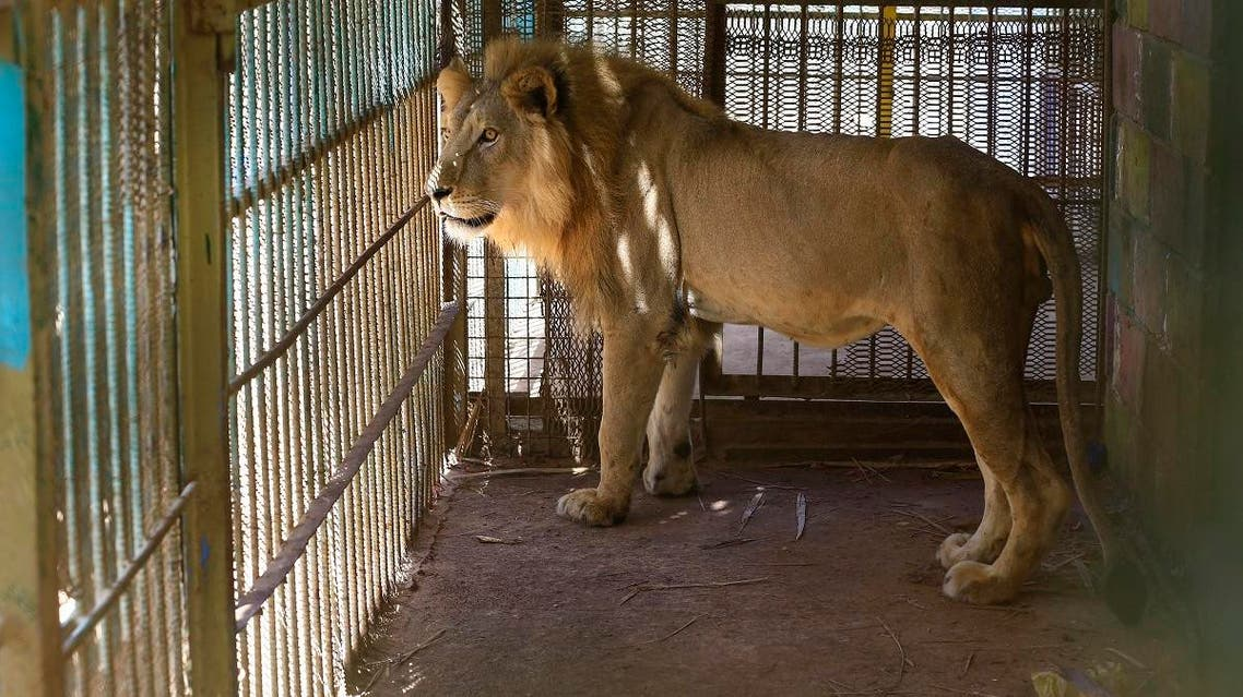 A malnourished lion walks in his cage at the Al-Qureshi park in the Sudanese capital Khartoum. (AFP)