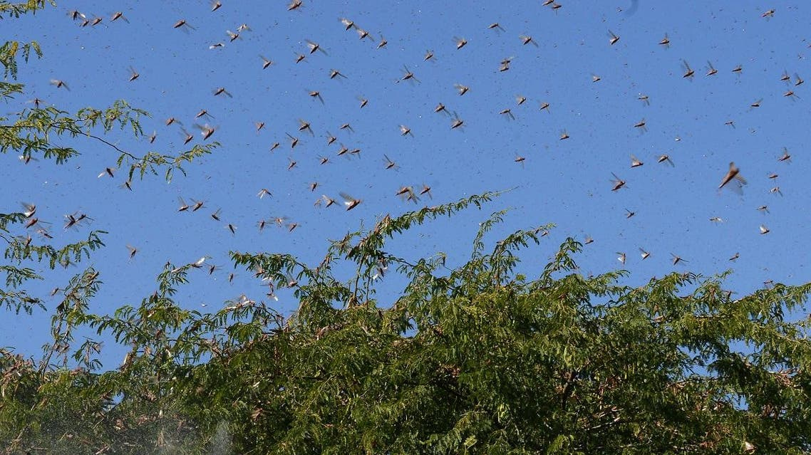 Locusts fly over trees near Miyal village in Banaskantha district some 250km from Ahmedabad, India, on December 27, 2019. (File photo: AFP)