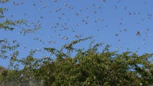 India deploys 12 drones to track movement of locusts, spray insecticides