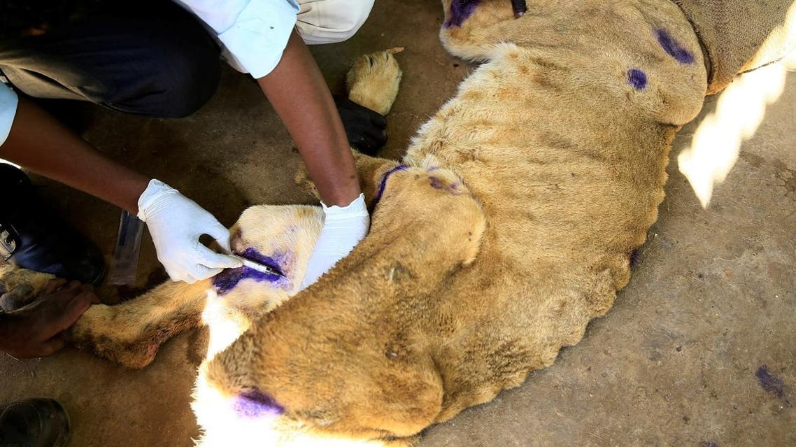 A wildlife veterinarian takes samples from a malnourished lion inside its cage at the Al-Qureshi Park in Khartoum. (Reuters)
