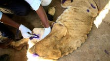 Sudanese vets rush to save park's malnourished lions after online uproar