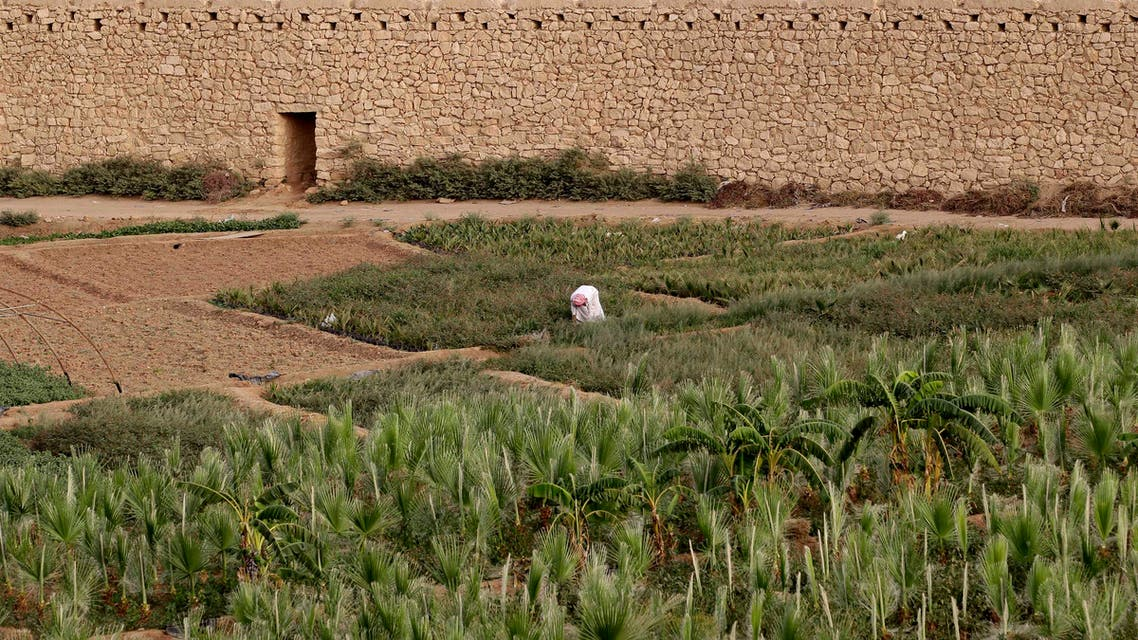 A farmer harvests his crop on a farm in Al-Diriyah, Saudi Arabia on June 7, 2012. (File photo: AP)